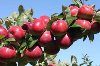 معرفی و  تاریخچه محصول سیب