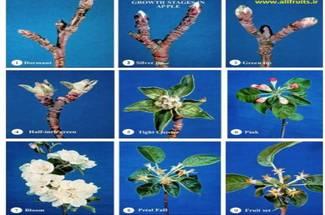نیازهای آب و هوائی سیب در طی مراحل نمو جوانه ها و گلدهی