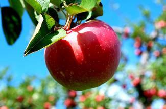نیاز آفتابی درختان سیب