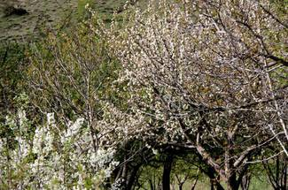 نیاز سرمایی درختان سیب