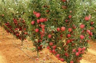 نیاز گرمایی درختان سیب
