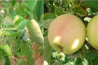نیازهای آب و هوائی سیب در طی مراحل رشد و نمو و رسیدن میوه