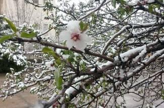 سرمازدگی درختان و باغات سیب