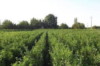اقدامات توتستان، تهیه برگ توت  و محل پرورش کرم ابریشم