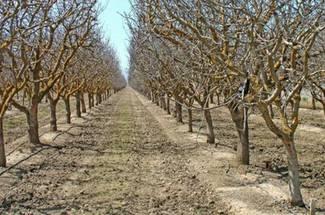 مرحله زمستان گذرانی و نیازهای آب و هوایی پسته