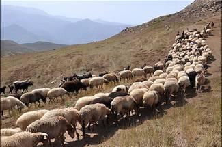 پرورش بز و گوسفند در آذربایجان غربی