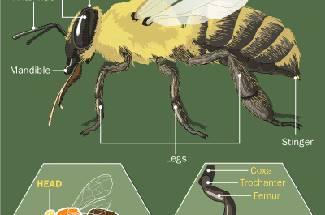 ساختمان خارجی بدن زنبورعسل