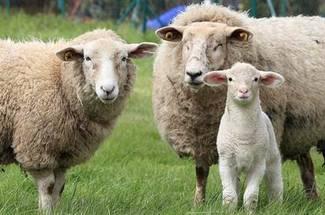 جیره غذایی مورد نیاز گوسفند پرواری