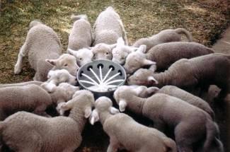 مشخصات گوسفند پرواری