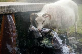 کیفیت آب در پرورش گوسفند