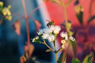 رده بندی جانورشناسی زنبور عسل