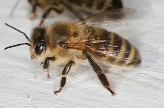 نژادهای زنبور عسل: زنبور عسل معمولی