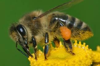 نژادهای زنبور عسل: زنبورعسل هندی