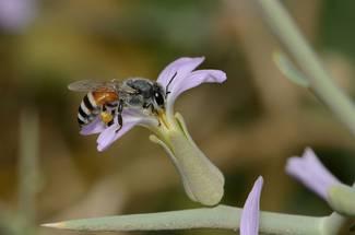 نژادهای زنبور: زنبورعسل ريز