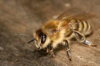 نژاد کارنيولان يا زنبور عسل خاکستری جبال آلپ
