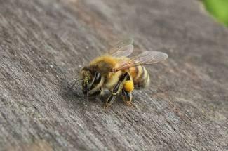 نژاد زنبور عسل ایتالیایی