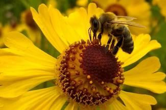 نژاد زنبور عسل سیاه (تیره)