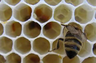 فعالیت های زنبور کارگر در داخل کندو