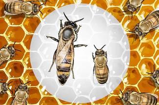 ترکیب زنبورها در کندو: ملکه