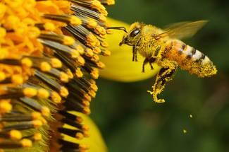 وظایف زنبور کارگر در خارج از کندو