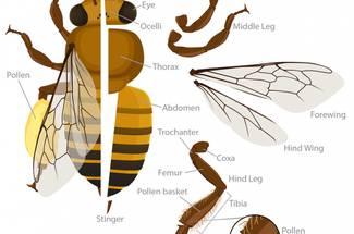 تشريح ساختمان بدن زنبورعسل