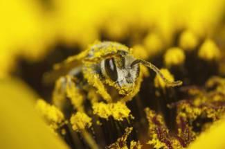 گرده گل در تغذیه زنبور عسل