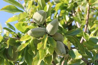 نیاز به سرما در درختان بادام