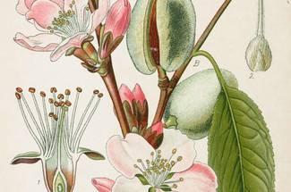 ویژگی های گیاه شناسی بادام
