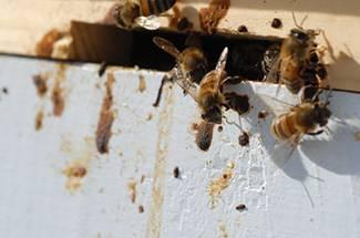 عامل بيماری نوزما در زنبور عسل