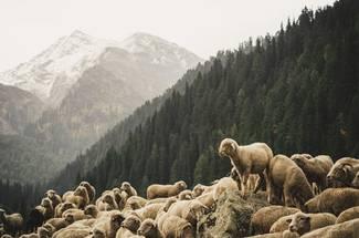نشانه های سلامت ظاهری گوسفند
