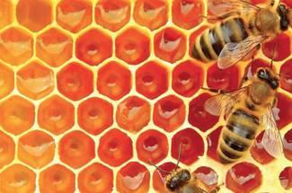 جلوگیری از همخونی کلنی زنبور عسل