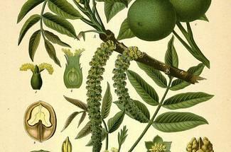 گیاه شناسی درخت گردو