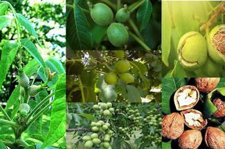 نیازهای آب و هوائی گردو - تشکیل و رشد میوه