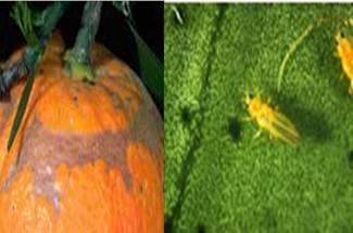 آفات باغات- تریپس مرکبات
