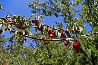 آب و هوای مطلوب درخت گیلاس