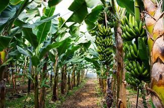 فواصل مناسب کاشت درختان موز
