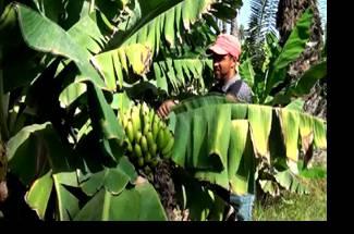 عملیات به زراعی- هرس موز
