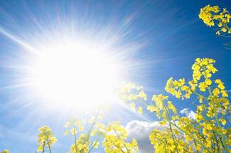 نور و نیاز آفتابی- گیاه کلزا