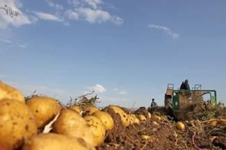 نیازمندیهای آب و هوایی مراحل تولید سیب زمینی