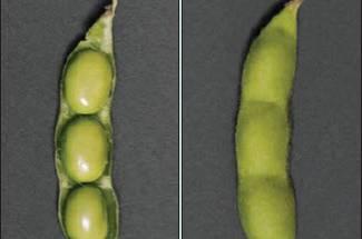 مرحله رشد سویا- دانه دهی کامل  R6