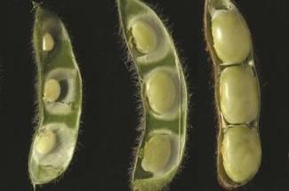 مرحله رشد سویا-شروع تشکیل دانه R5